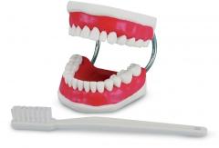 Modèle de démonstration avec brosse à dents Modèle de démonstration 50-651